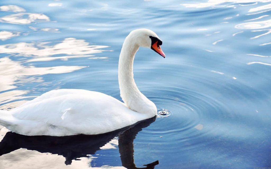 Todos los cisnes se pensaban que eran blancos porque no se había visto ningún cisne negro hasta ese momento